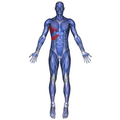 What pain and symptoms are associated with the intercostal muscles? --Pain in between or under the ribs --Can cause a 'stitch'  or sharp  pain in the side --Pain in the rib area when lying on side --Pain when twisting the body side to side --Sharp pain while taking a deep breath, sneezing, coughing and laughing