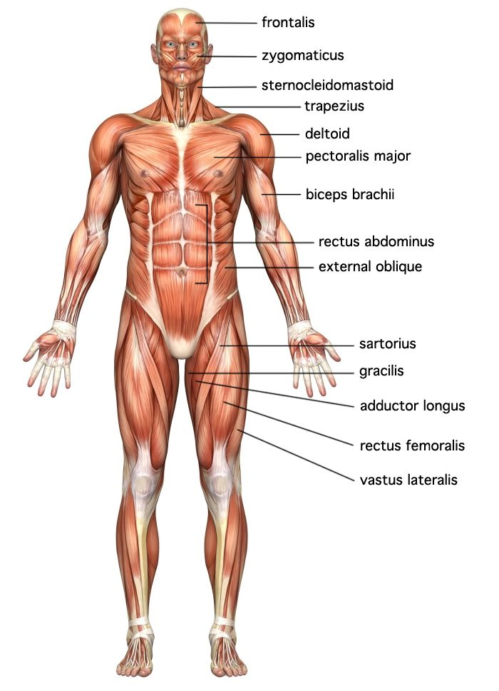 7 best human body system images on pinterest | human body systems, Muscles