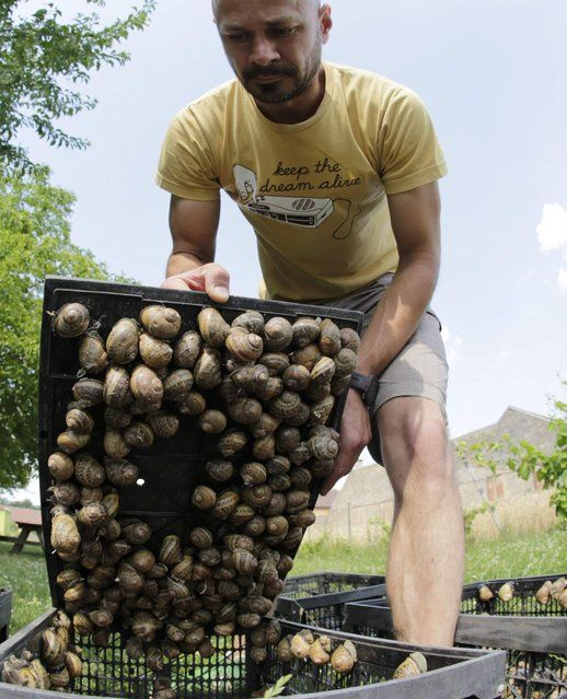 Austrian snail farmer Andreas Gugumuck collects snails (Helix Aspersa) in baskets in his farm in Vienna July 10, 2013. Andreas Gugumuck owns Vienna's largest snail farm, exporting snails, snail-caviar and snail-liver all over the world. The gourmet snails are processed using old traditional cooking techniques and some are sold locally to Austrian gourmet restaurants. (Photo by Leonhard Foeger/Reuters) http://avaxnews.net/fact/Snail_Farming_in_Austria.html