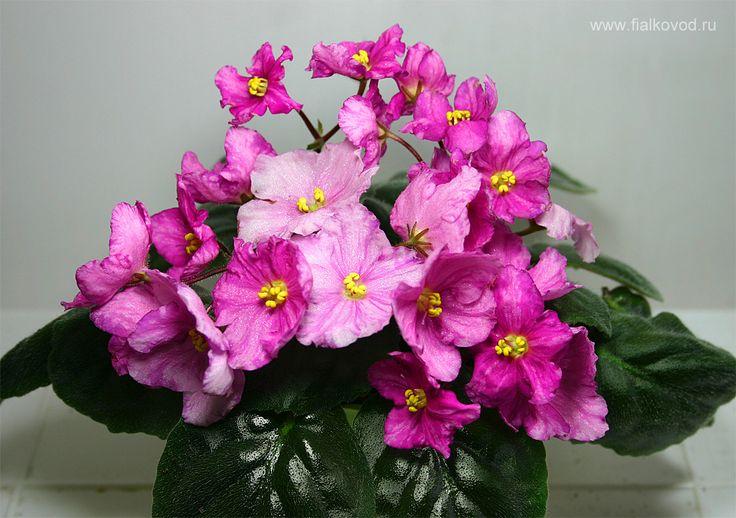Pretty Pink (Sorano)