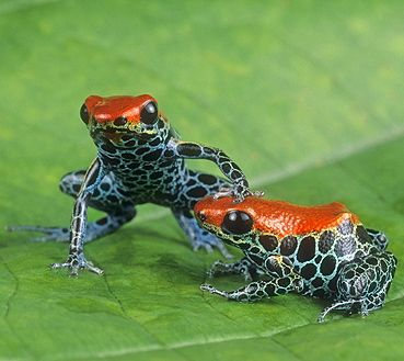 ☆ Poison Arrow Frogs, Dendrobates reticulatus, Peru :¦: Gail Melville Shumway Photography ☆