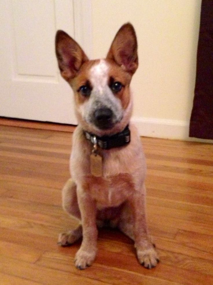 My Joesey Red Heeler/Australian Cattle Dog. My sons dog, Hoss,could pass as his twin