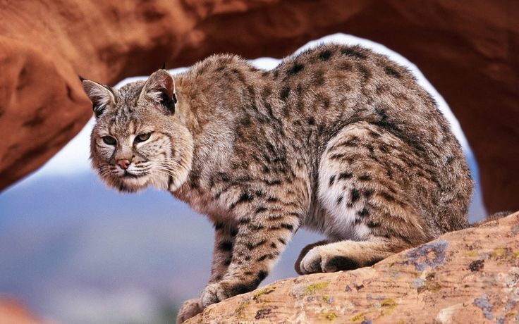 beautiful pictures of bobcat