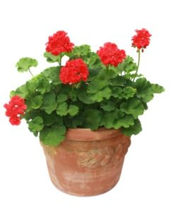 Geraniums.....Perennial/Annual....Bright light to full sun, deadhead, prune, water thoroughly. Let top 1 inch dry before re-watering.  Fertilize every 2 weeks.