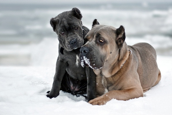 italian cane corso in gray please. <3 loooove these dogs. and who would ever mess with me when im walking down the street with one of these guys?!
