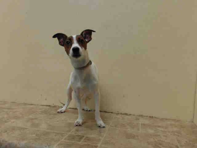SAFE!  ~ SAT 6/28/14 ~A 1 YR OLD PUPPY~ Brooklyn Center  My name is SPOT. My Animal ID # is A1003487. I am a male white and brown jack russ terr mix. The shelter thinks I am about 1 YEAR   I came in the shelter as a STRAY on 06/16/2014 from NY 11208, owner surrender reason stated was STRAY.