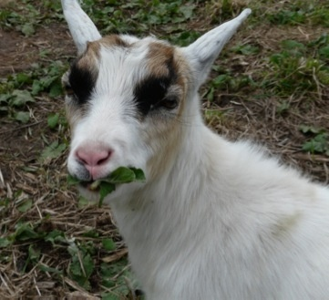 The Green Goats remove weeds and brush the natural way.    No dangerous chemicals.    Extremely low carbon hoof print.: Goats, Future Farms, Carbon Hoof, Gardens Pals, Future Yard, Farms Life, Gardens Visitor, Danger Chemical, Extreme Low