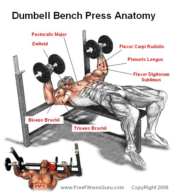 Working Out - the dumbell bench press anatomy ...
