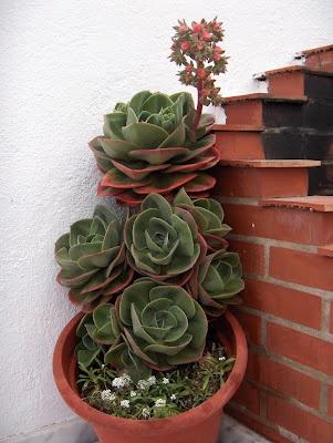 ECHEVERRIA GIBBIFLORA---Echeveria gibbiflora 'Metallica' y E. 'Metallica' no son la misma planta. La forma correcta de nombrar a nuestra planta, es E. 'Metallica'. ¿Por qué?  *La E. gibbiflora 'Metallica' fue descrita por el botánico francés Charles Lemaire en el año 1863, como una planta en cultivo, pero la descripción era muy breve como para poder identificarla en ese entonces.