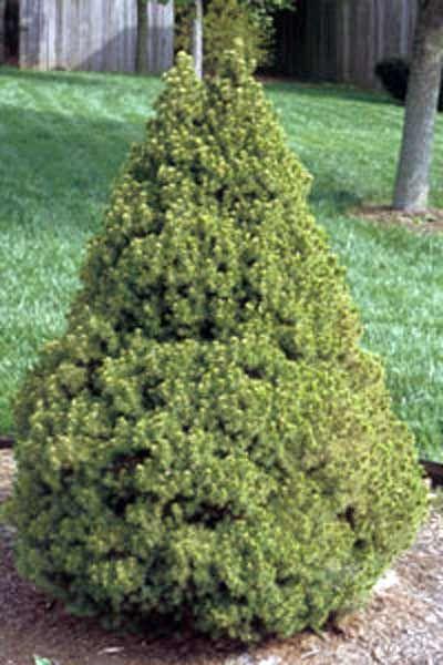 Landscape Dwarf Trees Pictures :