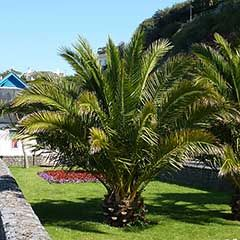 Pair of Phoenix canariensis Canary Island Date Palms