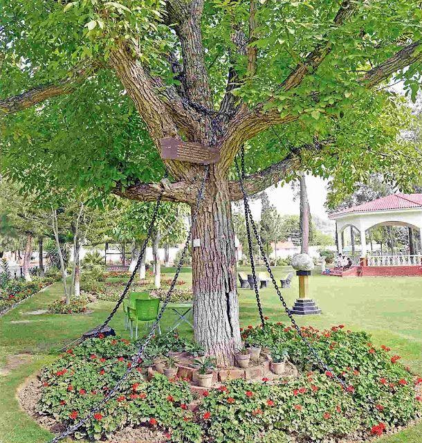 Deze boom staat al sinds 1898 onder arrest