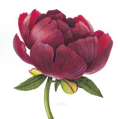 Peony Buckeye Belle - Watercolour by Christine Stephenson - Botanical Artist