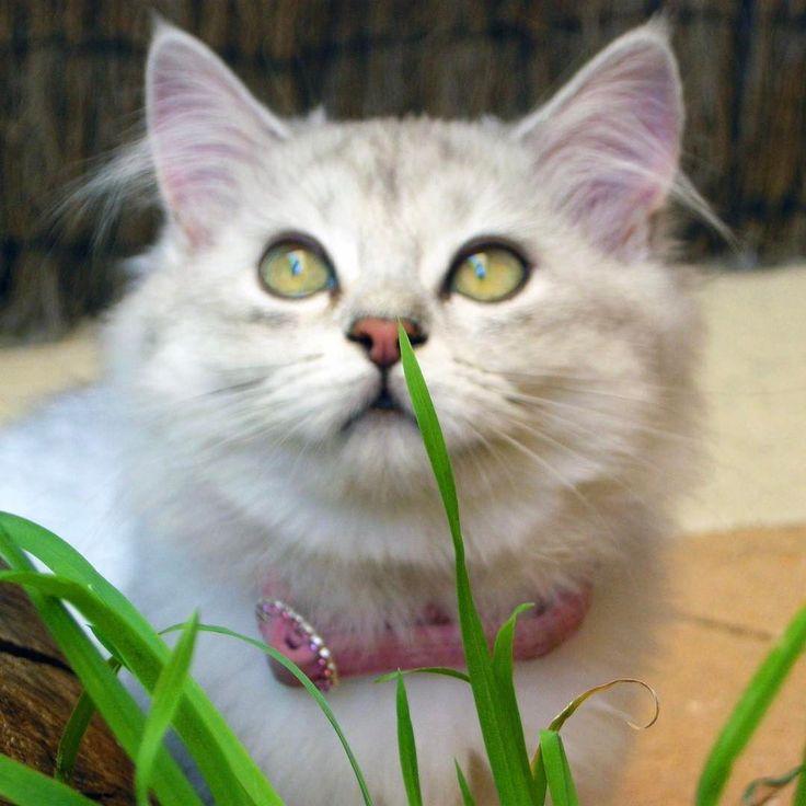 Eat your greens. #burmilla #cats #catsofinstagram #cute