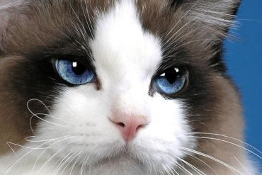 "Ragdoll Cats ✮✮""Feel free to share on Pinterest"" ♥t #cats  www.organicgardenandhomes.com"