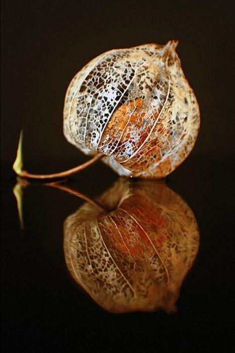 lantern plant.