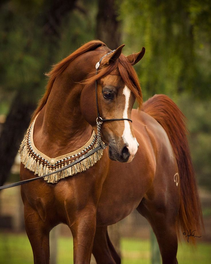 The Seeker V (Audacious PS x Satine IA by QR Excel) 3 year old Chestnut Stallion Foaled 05/03/14