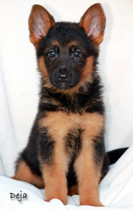Black And Deep Red German Shepherd Puppies For Sale 5 Year Health