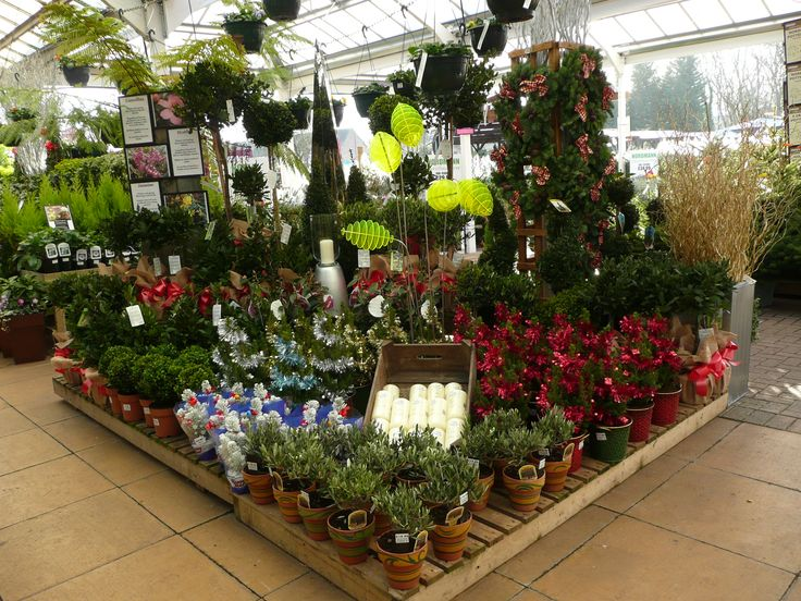 Christmas plants, Squires Garden Centre Twickenham