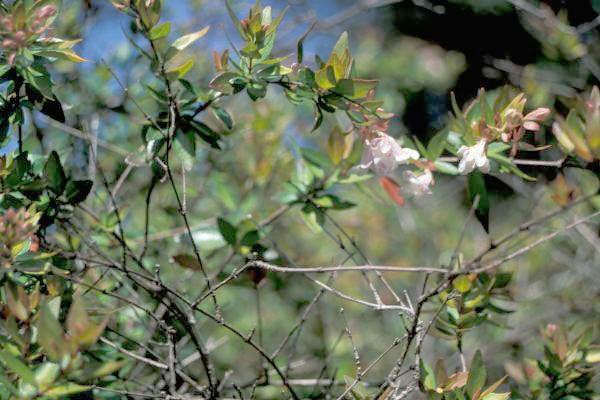ΑΜΠΕΛΙΑ (Abelia floribunda) Θάμνοι αειθαλείς, μέτριας ανάπτυξης με φύλλα μικρά, ωοειδή χρωματισμού πράσινο/ροζ, κοκκινωπό κορμό και κλαδιά με ελαφριά κλίση προς τα κάτω. Ανθοφορεί από Ιούνιο έως Οκτώβριο ενώ είναι ευαίσθητα στο κρύο. Συνιστάται για φύτευση σε γλάστρα ή ζαρτινιέρα, καθώς και για ομαδική φύτευση σε συστάδες.  Καλλωπιστικοί θάμνοι - Φυταγορά Σερρών