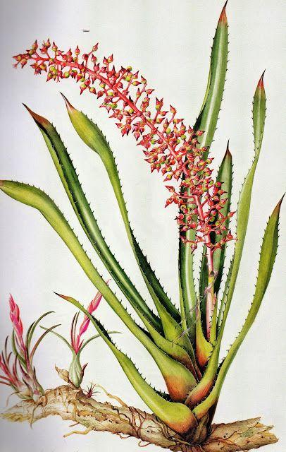 """Olímpia Reis Resque: Uma maravilhosa bromélia """"...A cor dominante era o vermelho, bromélias com folhas escarlates e inflorescências (Achmea huebneri) cresciam junto às concentrações verde-escuras de orquídeas (Schomburgkia) e antúrios com grandes folhas...."""". Texto e ilustração de Margaret Mee (1909-1988). No Blog:olimpiareisresque.blogspot.com. Visite!"""