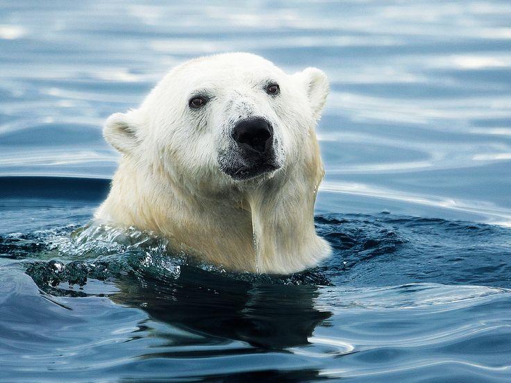 Yüzen bir kutup ayısı.  Katil Balina İstilası belgeselinden. [Günün Fotoğrafı - Aralık 2014]