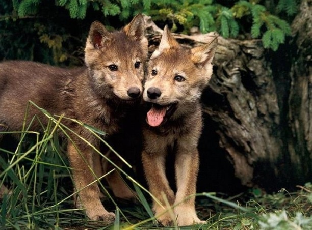 Baby Wolf cubs