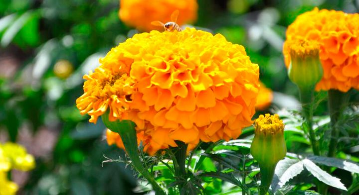 Flor de cempasúchil   https://www.gob.mx/sagarpa/articulos/flor-de-cempasuchil-belleza-espiritual?idiom=es