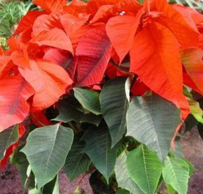 Cómo cuidar la Poinsettia o planta de Navidad. En este artículo te explicaremos cómo cuidar, regar, podar la Poinsettia o flor de Navidad, pero antes un poco de historia. Euphorbia pulcherrima es la Poinsettia o Planta de Navidad (conocida comúnme...