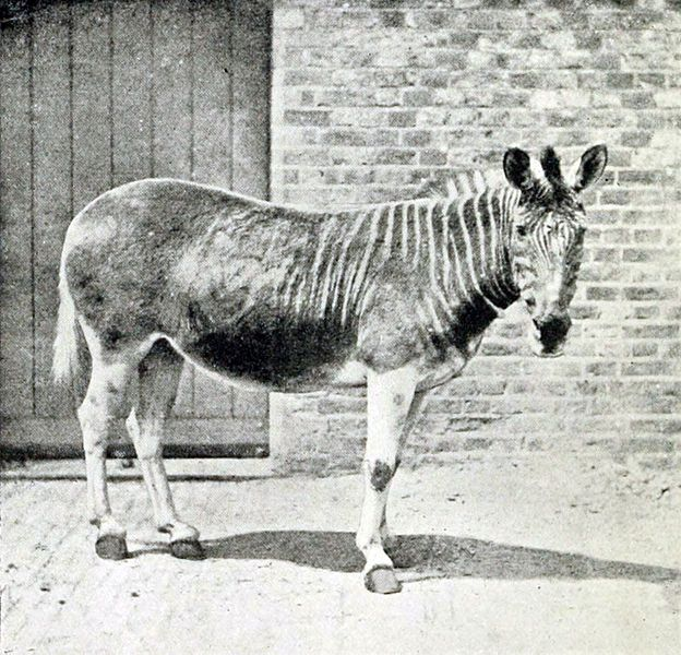 Only one Quagga was ever photographed, the female above, taken at the London Zoo. In the wild, the Quagga, a subspecies of the plains zebra, was found in great numbers in South Africa. However, the Quagga was hunted to extinction for meat, hides, and to preserve feed for domesticated animals. The last wild Quagga was shot in the 1970s, with the last one held in captivity dying in August of 1883. Interesting fact, the Quagga was the first extinct animal to have its DNA examined. Prior to this…