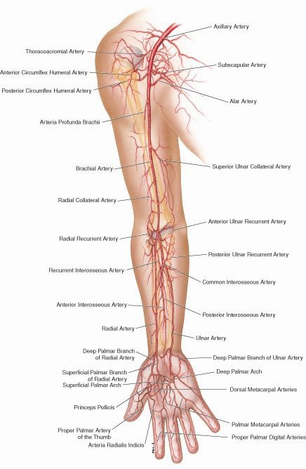 Artery Anatomy Arm - Health, Medicine and Anatomy Reference Pictures