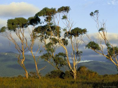 Eucalyptus Trees in Evening Light, Wilson's Promontory National Park, Victoria, Australia