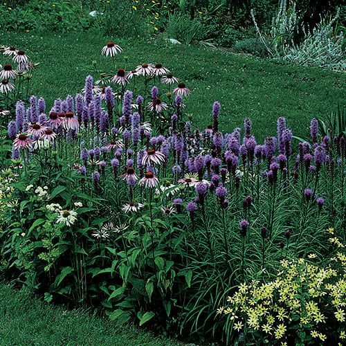 """This compact selection of the prairie native is a welcome addition to the mid-summer garden. At only 24-30"""" high, 'Kobold' almost qualifies as a dwarf, and definitely belongs near the front of the border."""