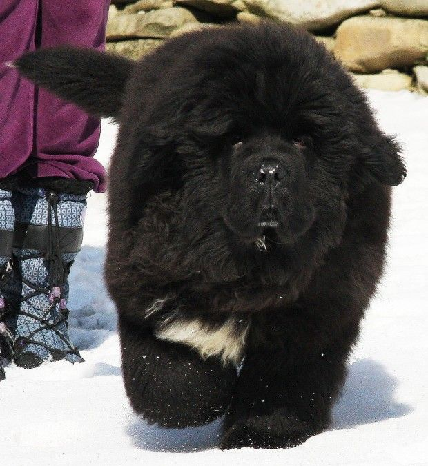 Newfoundland - One of the largest dog breeds in the world, Newfoundland dogs were originally used as working dogs in, you guessed it, Newfoundland, Canada.