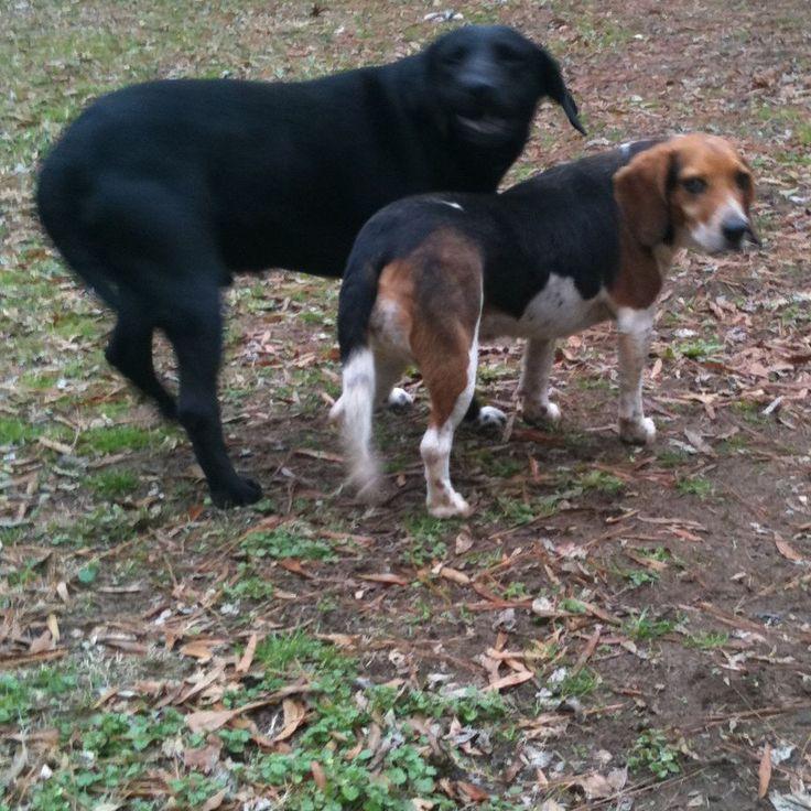 Labrador And Beagle Together