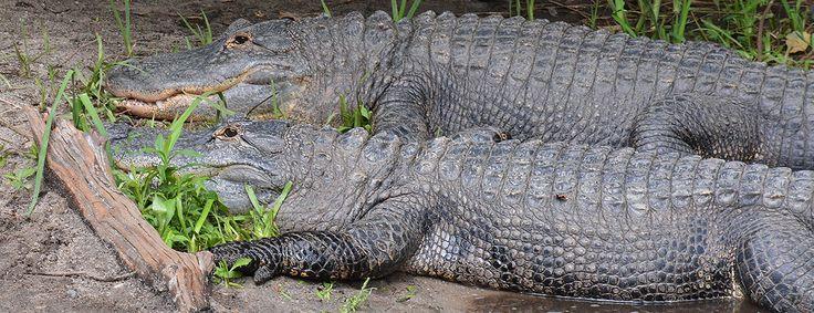 Alligators at the Queens Zoo