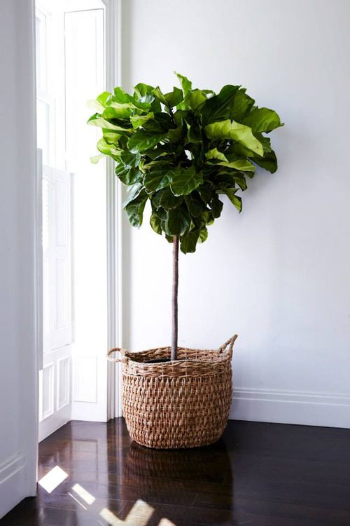 Fiddle Leaf. Love the idea of having some greenery in the house. Need something that is easy to take care of.: