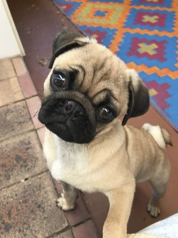 Pug Rescue Profile Pug Puppies Price Pug Puppies Pugs