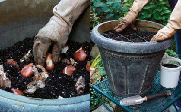 como-plantar-tulipanes-en-macetas-023