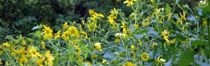 Bee friendly garden plants for Massachusetts