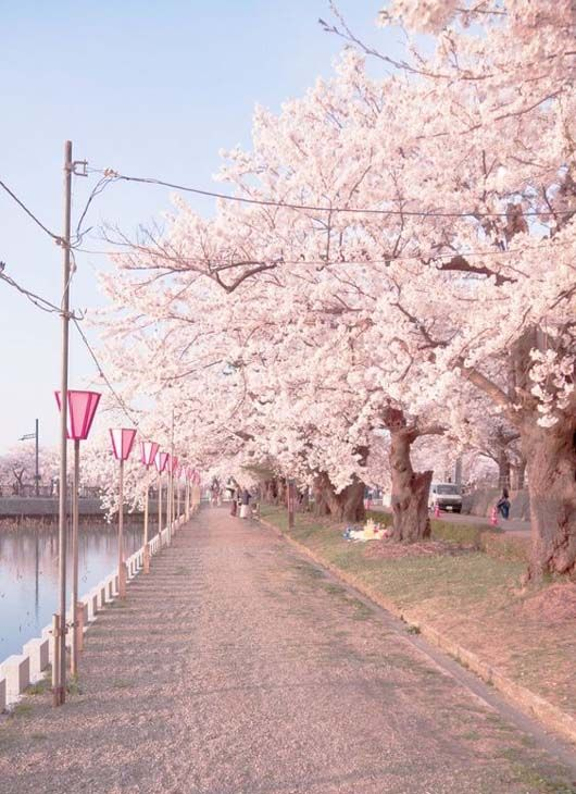Most Beautiful Bank Of River In The World Cherry Blossom