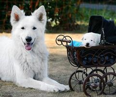 White shepherd and puppy in pram