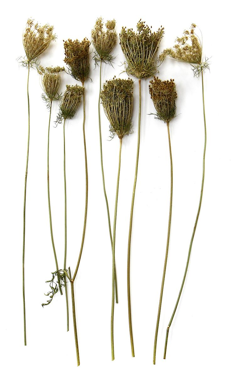 summer on a stick: dried queen anne's lace (mary jo hoffman)