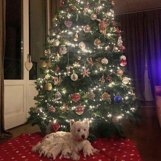 Tutta la famiglia sotto l'albero  Foto di: @frencyfa #BauSocial   #christmas #christmastree #waintingforchristmas #christmasspirit #santaclaus #westiegram #westie #westhighlandwhiteterrier #family #cani #cane #dog #dogs #puppy #puppies