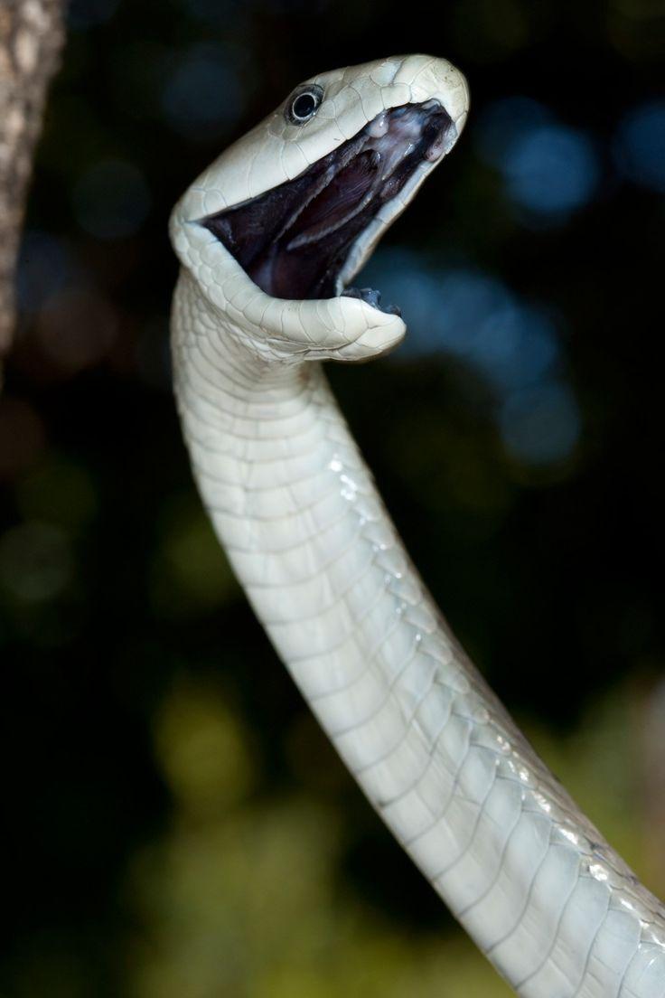 snakebite black mamba snake black mamba snake
