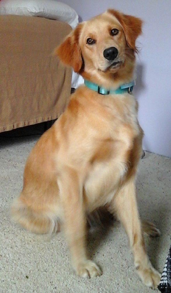 Adopt Misty On Dogs Golden Retriever Golden Retriever Training