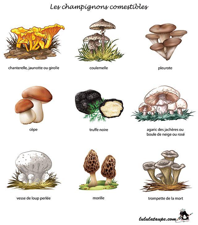 Les champignons comestibles, fiche gratuite à imprimer