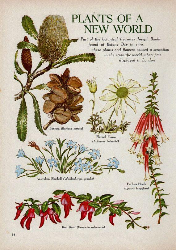 Australian Flowers, Banksia Flannel Flower, vintage BOTANICAL print
