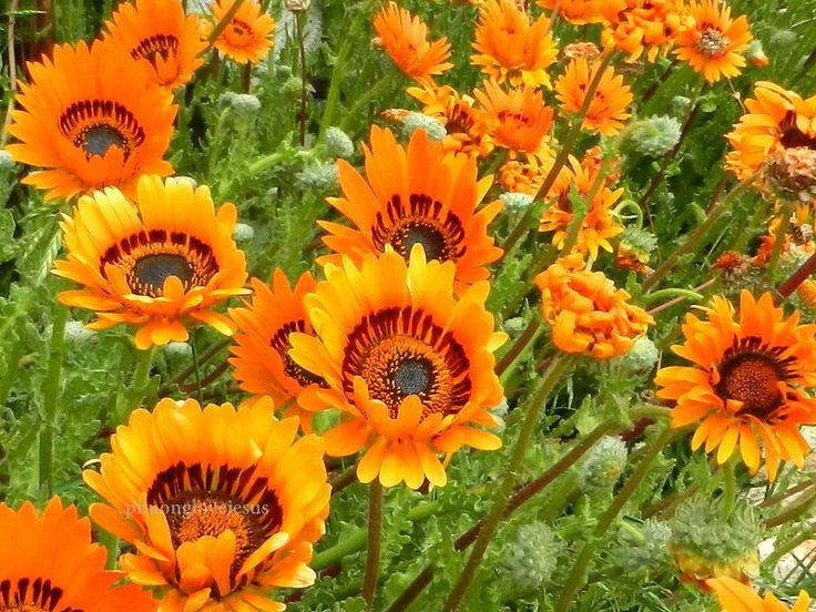 Iceland daisy,Namaqualand arctotis, Namaqua marigold, Arctotis fastuosa......#10