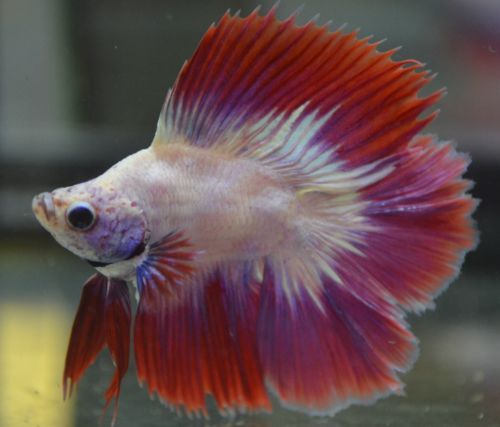 Live betta fish rare highly prized short body doubletail for Rare types of betta fish